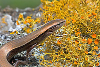 477410001 a wild adult ground skink scinella lateralis sits on a lichen covered log in the texas hill country in central texas