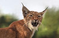 Lena, la lynx de Scandinavie, Eurasian lynx (Lynx lynx), Zone Europe of the new Parc Zoologique de Paris or Zoo de Vincennes, (Zoological Gardens of Paris or Vincennes Zoo), which reopened April 2014, part of the Museum national d'Histoire naturelle (National Museum of Natural History), 12th arrondissement, Paris, France. Picture by Manuel Cohen