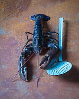 Europe/France/Bretagne/29/Finist&egrave;re/Lannilis/Prat-Ar-Coum&nbsp;:  Homard bleu breton d'Yvon Madec, Viviers de  Prat-Ar-Coum - Stylisme : Val&eacute;rie LHOMME<br /> Europe / France / Brittany / 29 / Finistere / Lannilis / Prat-Ar-Coum: Yvon Madec Breton blue lobster, Viviers de Prat-Ar-Coum - Stylist: Val&eacute;rie LHOMME