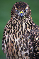 537413005 a captive falconer's bird a juvenile northern goshawk poses for a portrait image in during a hawking meet in california