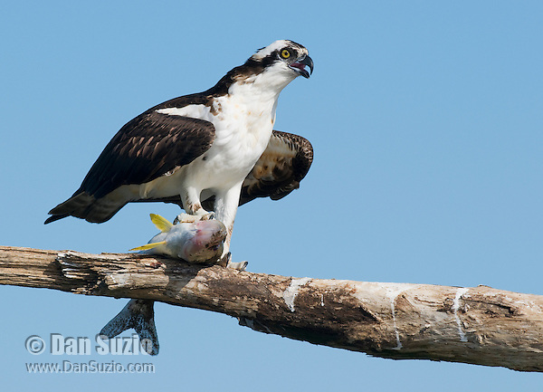 Osprey, Pandion haliaetus, with fish. Tarcoles River, Costa Rica