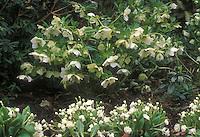 Helleborus hybridus Hadspen Star + Primula Alba Plena