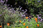 Orange California poppies in the foreground with purple Verbena 'De La Mina' a cultivar of Verbena lilacina in the background at the Santa Barbara Botanic Garden; Santa Barbara; Santa Barbara County; California; CA; USA