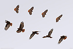 Dark Morph Red-tailed Hawk, Flight Study, Bosque del Apache Wildlife Refuge, New Mexico