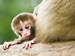 Formosan Macaque  baby peers out from behind mother, Monkey Mountain, Nan Hua, Tainan, Taiwan,  May 26th 2008