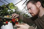 Foto: VidiPhoto<br /> <br /> DOORNENBURG - Bij aardbeienteler Arno de Beijer in het Gelderse Doornenburg, plukt stagiair Luke Kleinschiphorst van het Helicon College in Nijmegen woensdag de eerste aardbeien van het seizoen. Nu de zon flink schijnt groeien de razend populaire vruchten als kool. De Beijer is een van de eerste telers met verse aardbeien en ze zijn dan ook niet aan te slepen. &quot;De klanten staan hier al begin maart op de stoep.&quot; Een groot deel van de oogst wordt aan huis via een fruitautomaat verkocht of gaat via de korte keten naar groentenwinkels in de omgeving. Doordat ze nog dezelfde dag bij de consument op tafel staan kunnen ze volrijp geplukt worden, wat de smaak ten goede komt. Zowel de aardbeienconsumptie -in Nederland en wereldwijd- als het productieareaal in ons land neemt jaarlijks nog steeds toe. Het Nederlandse aardbeienseizoen start officieel pas op de derde dinsdag van april.
