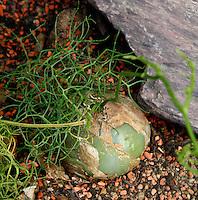 Desert and Arid Lands Glasshouse, 1930s, Jardin des Plantes, Museum National d'Histoire Naturelle, Paris, France. Detail of Bowiea volubilis plant.