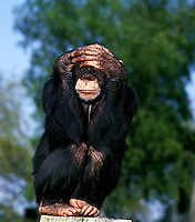 Chimpanzee (Pan troglodytes) adult sitting and shading eyes with its hands. Captivity