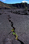 Ohia plant growing in lava crack, HVNP, Kilauea Volcano, Island of Hawaii<br />