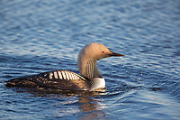 Pacific loon swims in a tundra pond on Alaska's arctic north slope.