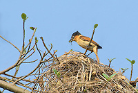 507100040 a wild female rose-throated becard pachypramphus algaiae with food in her beak perches on her spectacular nest on a private ranch in tamaulipas state mexico