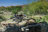 Farmer uses oxen to turn water wheel to draw water from well for irrigation and woman drinking in Pali District of Rajasthan, India