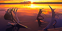 940000010 panoramic view of silhouetted caribou antlers backlit by the setting sun laying on the shore of whitefish lake in the remote northern region of the northwest territories in canada