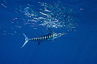 qf0672-D. Striped Marlin (Tetrapturus audax), feeding on Pacific Sardines (Sardinops sagax). Baja, Mexico, Pacific Ocean..Photo Copyright © Brandon Cole. All rights reserved worldwide.  www.brandoncole.com..This photo is NOT free. It is NOT in the public domain. This photo is a Copyrighted Work, registered with the US Copyright Office. .Rights to reproduction of photograph granted only upon payment in full of agreed upon licensing fee. Any use of this photo prior to such payment is an infringement of copyright and punishable by fines up to  $150,000 USD...Brandon Cole.MARINE PHOTOGRAPHY.http://www.brandoncole.com.email: brandoncole@msn.com.4917 N. Boeing Rd..Spokane Valley, WA  99206  USA.tel: 509-535-3489