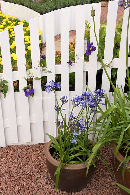 Pot of Agapanthus outside white picket fence, with clematis vine and marigolds