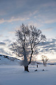 WY01933-00...WYOMING - Winter sunrise with cotton wood trees in the Lamar Valley. Yellowstone National Park.