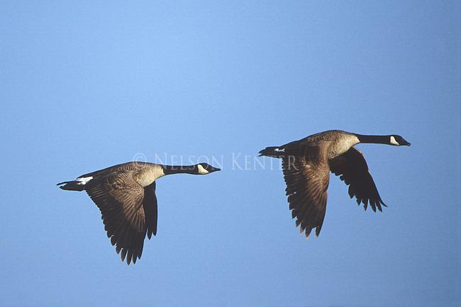 Canada Geese pair in flight