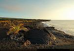 Pahoehoe Lava from Kilauea Eruption and newly planted Palm Trees, Kaimu Beach at Kalapana, Black Sand Beach, Kaimu Bay, Puna District, Big Island of Hawaii