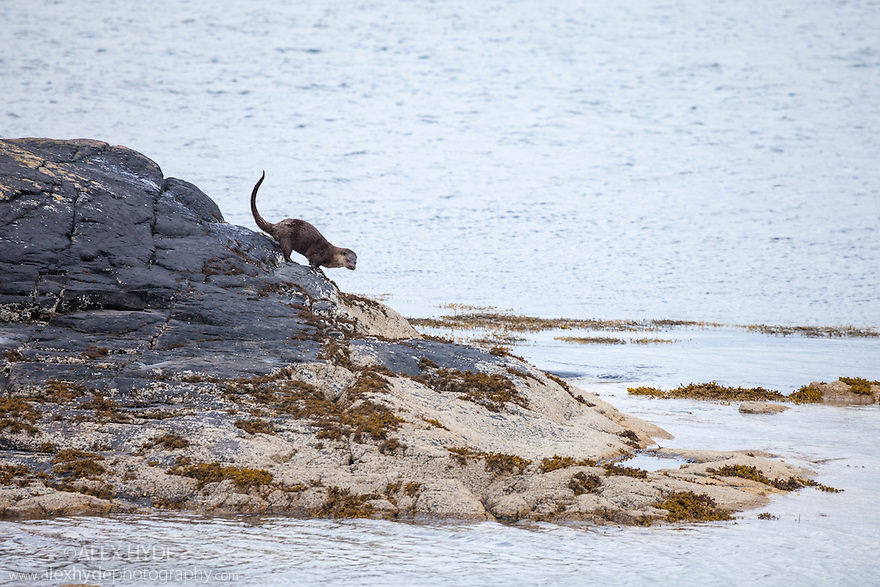 European River Otter {Lutra lutra} climbing on rocks at low tide, Isle of Mull, Scotland, UK. June.