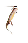 Female palmate newt swimming underwater (field studio).