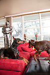 Red Doberman Puppy with his ears taped playing on couch with full grown black Doberman