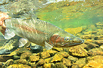Underwater trout in  Tres Valles, Patagonia, Argentina
