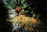 Orangutan, Gunung Leuser National Park, Sumatra, Indonesia