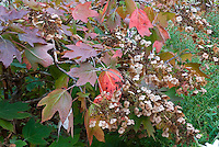Hydrangea quercifolia in autumn color flowers | Oakleaf Hydrangea