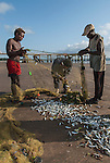 Small-scale fishers catch of small fish using a gill net, Malindi, Kenya