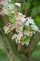 Snake-bark, redvein or Honshū maple (Acer rufinerve), early July. Native to the mountain forests of Japan, on Honshū, Kyūshū and Shikoku.