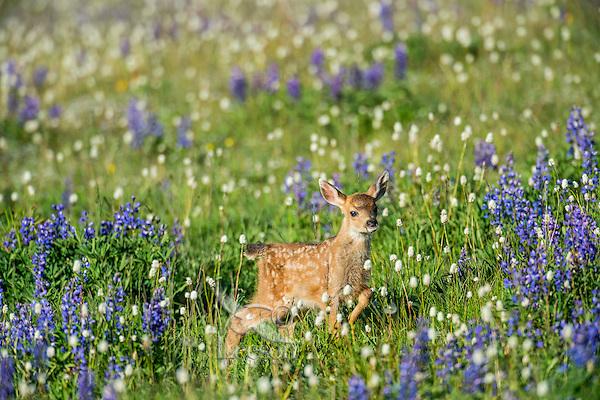 Columbian black-tailed deer (Odocoileus hemionus columbianus) fawn walking through subalpine meadow covered with wildflowers.  Pacific Northwest.  Summer.