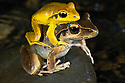 Stony-creek frogs (Litoria lesueri) mating on a rock next to a creek, at night; Australia, Queensland,