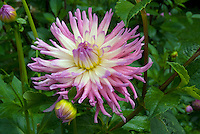Dahlia in Yarmouth Community Garden and Meals on Wheels customers, Yarmouth Maine