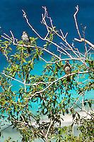 Killi Killi Birds / Sparrow Hawks mating pair.along the Johnny Horn Trail.Leinster Bay.Virgin Islands National Park