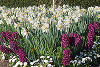 Spring bulbs Daffodils and Hyacinths in white and purple with Bellis perennis English daisies in mass garden design