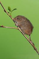 Zwergmaus, Zwerg-Maus, Eurasische Zwergmaus, Maus, Mäuse, Halmkletterer, Greifschwanz, Micromys minutus, Harvest Mouse, Eurasian Harvest Mouse, Rat Des Moissons