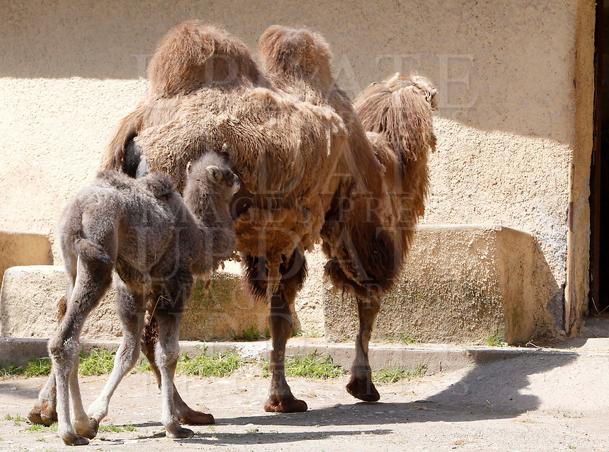 Amelia, femmina di Cammello della Battriana, nata lo scorso 25 marzo, con la madre Soraya al Bioparco di Roma, 10 aprile 2013..Amelia, a baby female Bactrian Camel born on last 25 March, follows her mother Soraya, at Rome's Bioparco, 10 April 2013..UPDATE IMAGES PRESS/Riccardo De Luca
