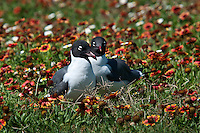 Pair of Laughing Gulls