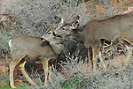 Mule deer doe and fawn in winter