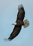Adult Bald Eagle soaring low over the river