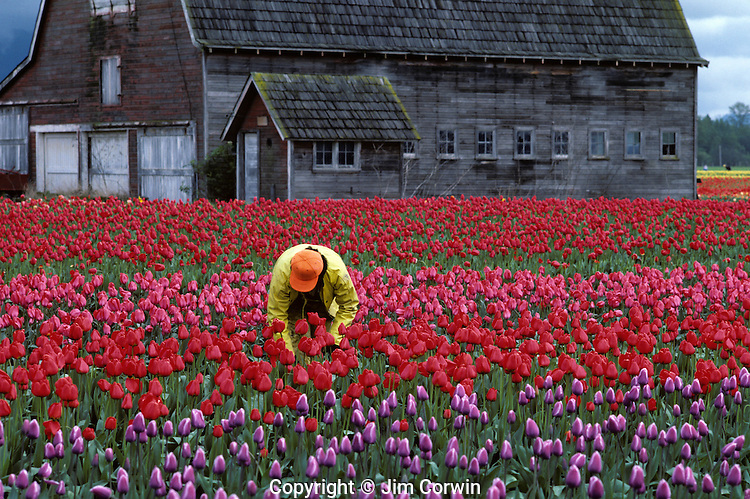 Rows of multi colored tulips with worker picking tulips with old barn in field Skagit County near Mount Vernon Washington State