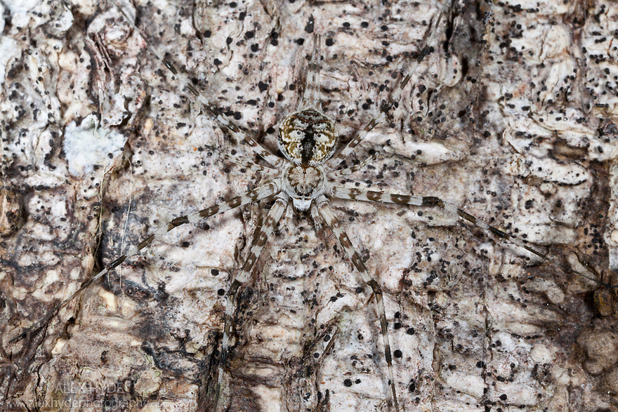 Long-spinnered Bark Spider {Hersiliidae sp} camouflaged on tree bark where it waits to ambush passing prey. Tropical rainforest, Masoala Peninsula National Park, north east Madagascar.
