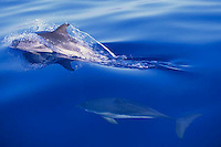 Dolphins Swimming at the Surface --- Image by © Owen Franken/CORBIS