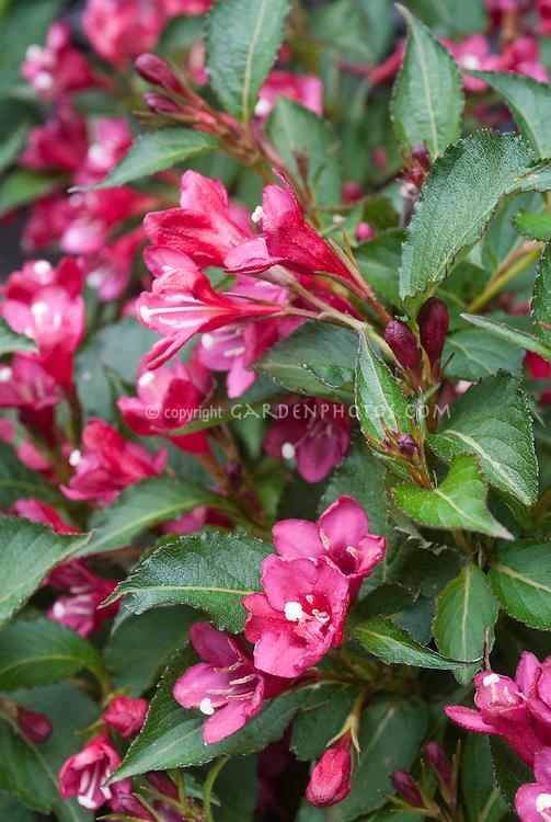 Weigela Vanicek aka Weigela 'Vanicekii' aka Newport Red aka Cardinal Red in spring bloom