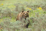 Grizzly 399 stands among sagebrush in Grand Teton National Park, Wyoming.