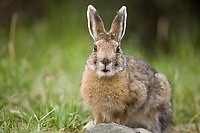 Snowshoe hare in summer phase, Denali National Park, interior, Alaska.