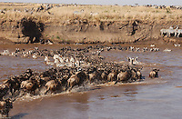 Wildbeests and zebras cross the Mara River in the Kenya-Tanzania border, during one of the most spectacular migrations in the animal kindom. (PHOTO: MIGUEL JUAREZ LUGO).