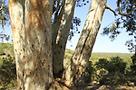 T-143 Upper Galilee, Eucalyptus tree in Ein Meirav