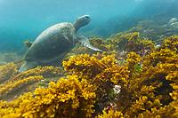 Underwater views of the Galapagos green turtle, Isabella Island, Galapagos Islands, Ecuador.