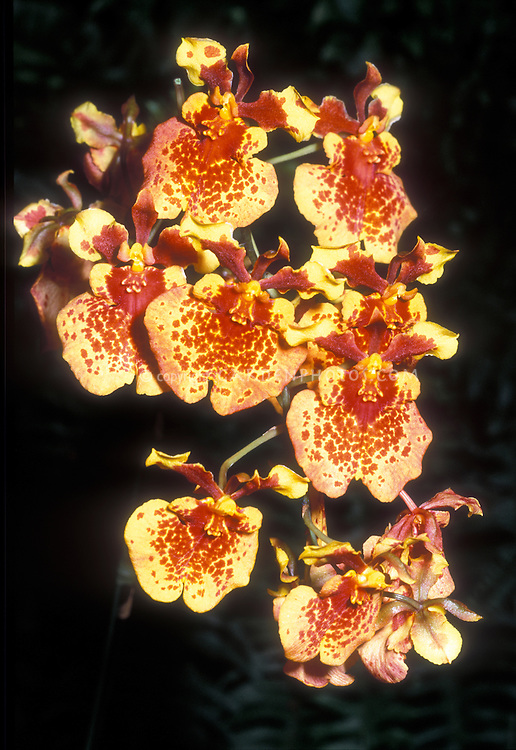 Tolumnia Golden Sunset (Equitant Oncidium) orchid
